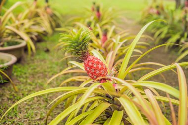 Red pineapple growing at the Plantation, Malaysia.