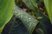 Fotografie Kapky rosy na tmavě zelená listová closeup ve dne