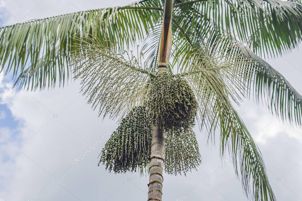 Super food. Amazon, acai berries growing on a tree.