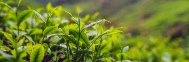 Green tea buds and fresh leaves. Tea plantations. Banner