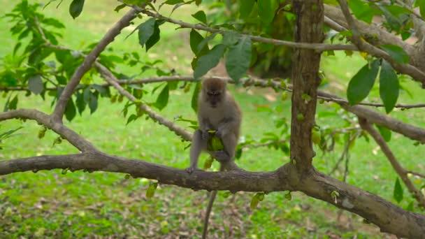 opice na stromě, čištění a jíst mango