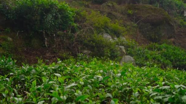 Panoramic shot of a highlands tea terrace