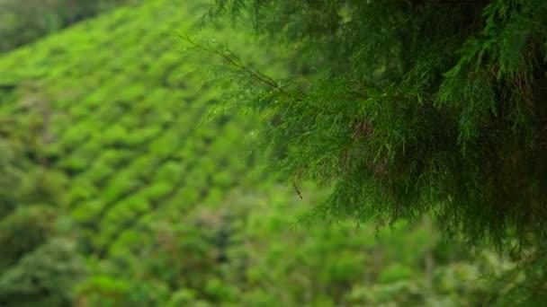 Foto panoramica di piantagioni di tè un highlands