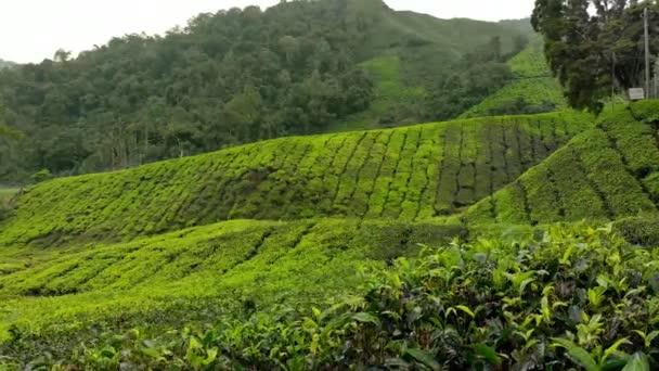 Steadicam colpo di un bel tè piantagioni-terrazze