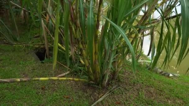 cukornád, egy trópusi kertben
