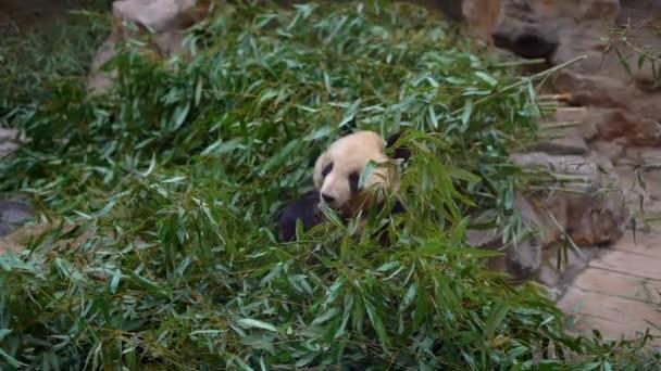 Slowmotion shot of an adorable panda bear sitting among bamboo branches and eating