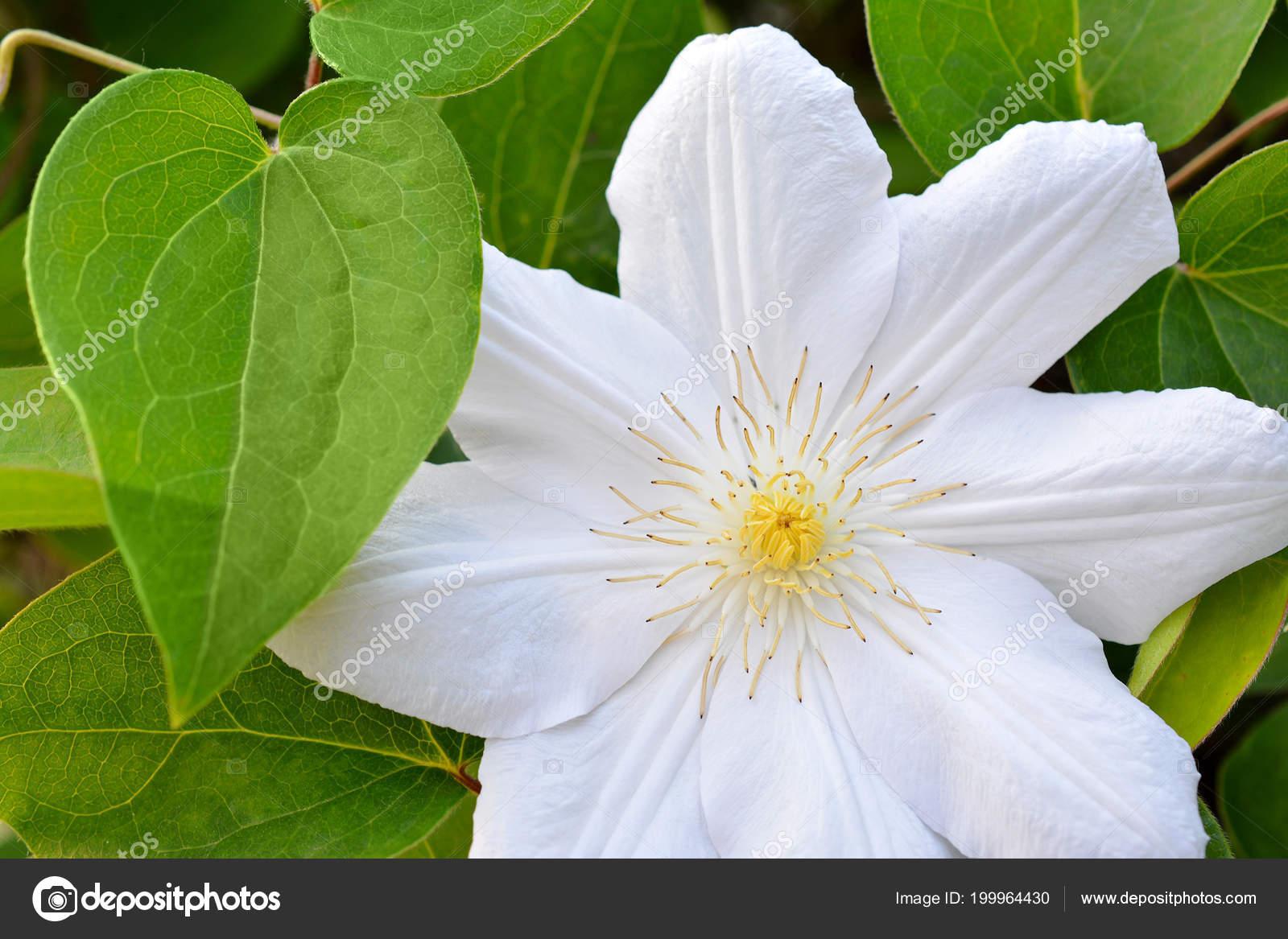 Flower White Clematis Spring Garden Bush White Clematis Stock