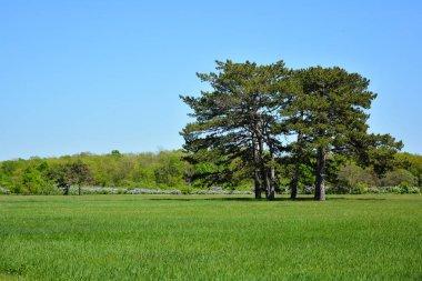 Pines in the spring park. Falz-Fein Biosphere Reserve Askania Nova, Ukraine.