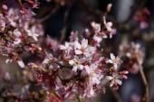 Mořská hvězda v plném květu. Třešňové květy v malých clusterech o třešňový strom větev. Sakura japonských třešňových květů v botanické zahradě