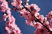 Fotografia Rosa fiore di ciliegio in piena fioritura. Fiori della ciliegia in piccoli gruppi su un ramo di ciliegio. Fiori di ciliegio giapponese Sakura nel giardino botanico