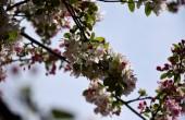 Fotografia Bianco fiori di ciliegio in piena fioritura. Fiori della ciliegia in piccoli gruppi su un ramo di ciliegio. Fiori di ciliegio giapponese Sakura nel giardino botanico