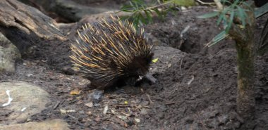 Tachyglossus aculeatu Echidna (spiny anteaters) climbing a tree branch. It's one of the only few living mammals that lay eggs.