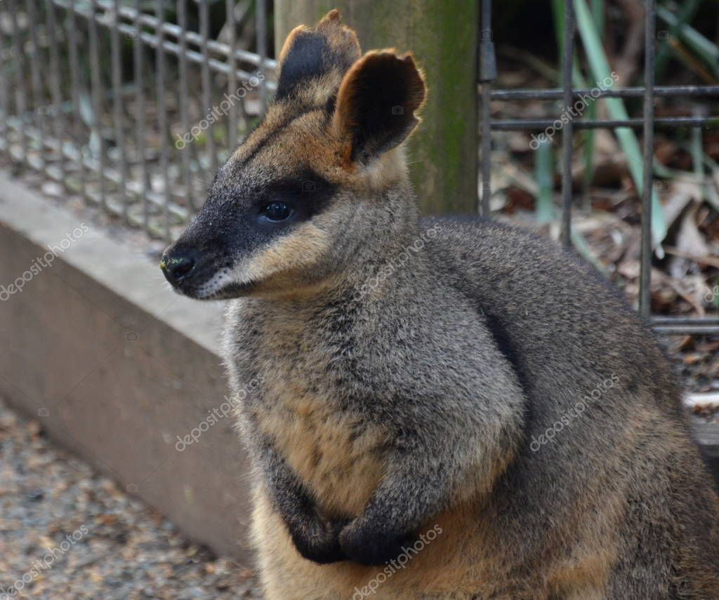 Yellow-footed Rock-wallabies are with brown and yellow rings on their tail, yellow paws, grey fur covering their body, and a white belly with white stripes on their cheeks, hips and abdomen.