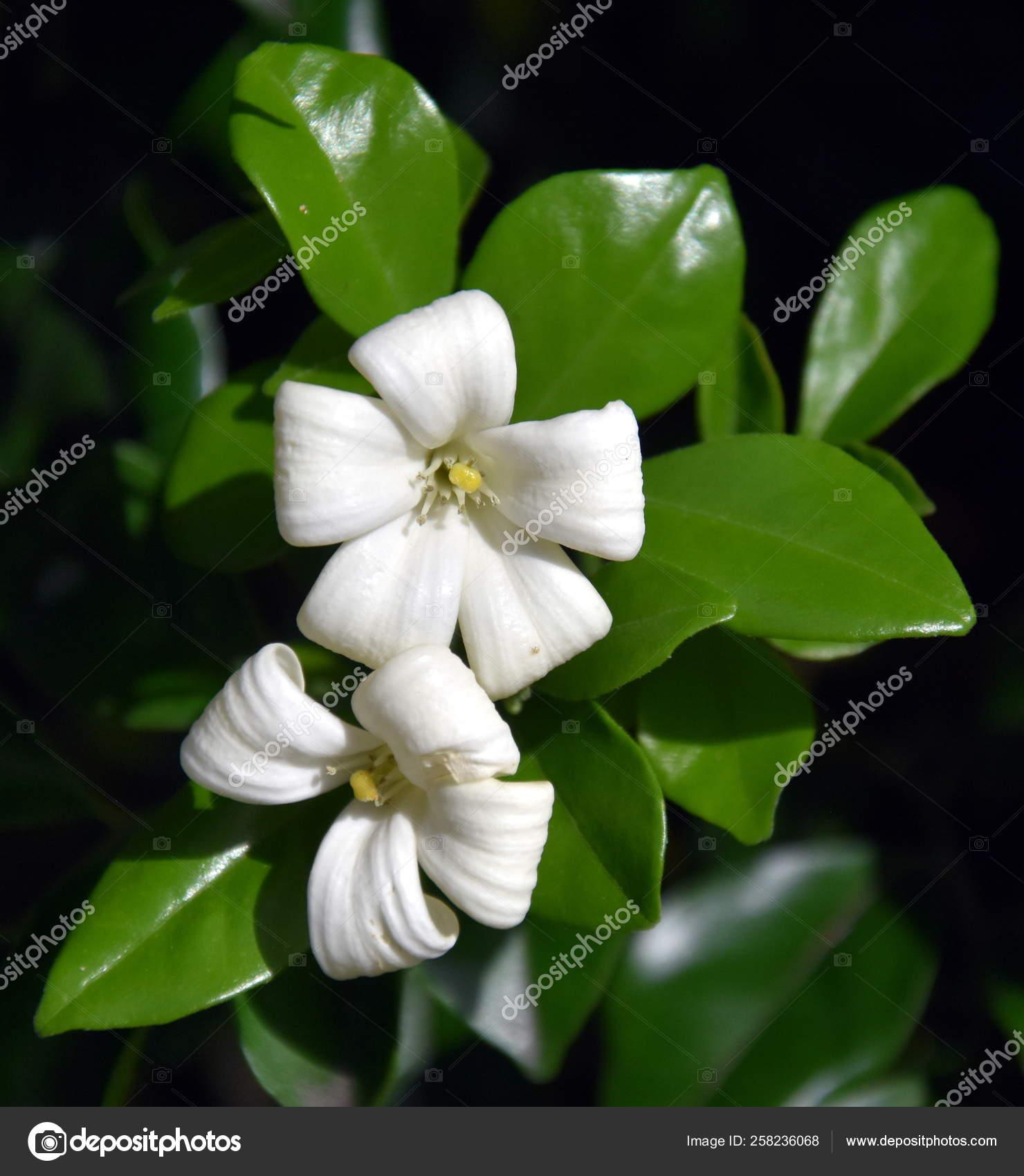 White Flowers Orange Jessamine Murraya Paniculata Jasminul Portocal Murraya Exotica Stock Photo By C Katacarix 258236068