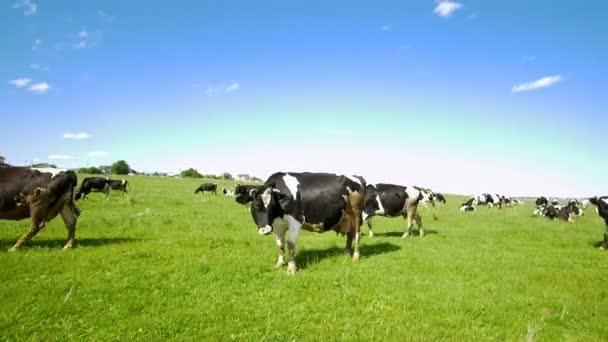 Krávy se pasou v zelené oblasti na pastvině ve slunečný den