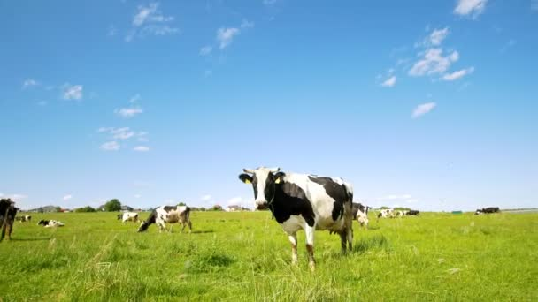 Cow grazing on the pasture looking at camera in sunny summer day