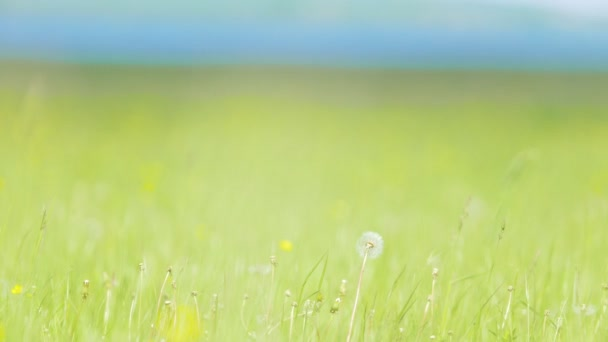 Pampeliška na zelenou kvetoucí louce v slunečný den