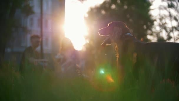 Psí plemeno Irský Setr rozhlédl před mladý pár sedí na trávě u letní západ slunce
