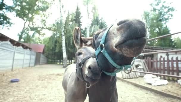 grote zwarte ezels Videos