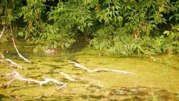 Ente schwimmt im Wasser, auf dem Hintergrund der grünen Laub