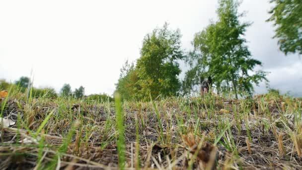Pastevecký pes vede po trávě. Spodní pohled. Zpomalený pohyb