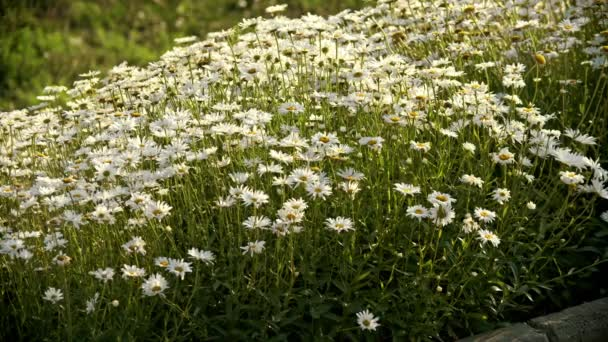 Pretty white daises outdoors - flower bed on the street