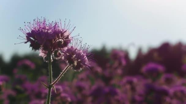 Fialové květinové pole za denního světla