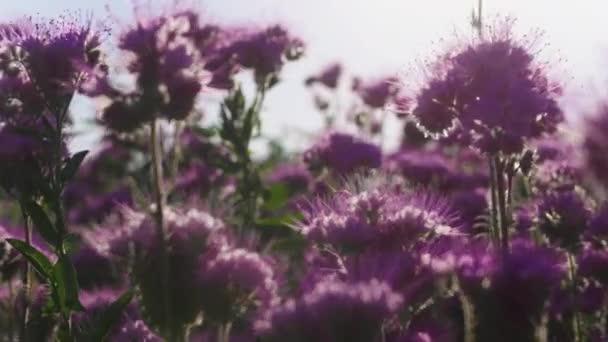 Pole plné fialových květů za denního světla