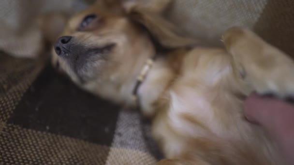 chihuaha roztomilý funny pes spí na přehoz, něčí ruka tahy ospalý pet