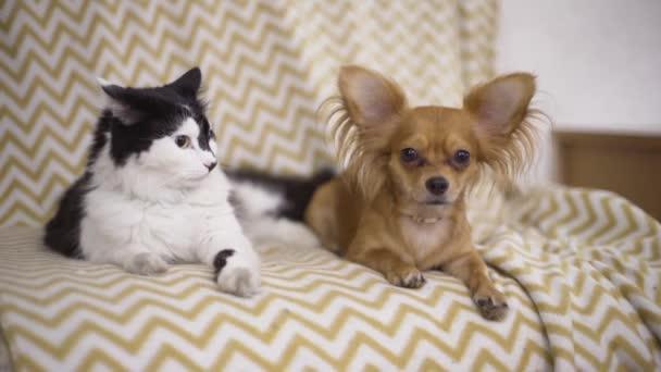 Macska és a kutya. Chihuahua kutya- és bolyhos feküdjön a kanapén, otthon