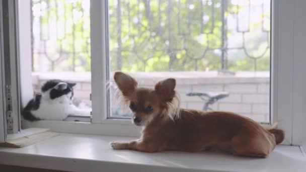 Macska és a kutya. Chihuahua kutya- és bolyhos az ablakpárkányon, otthon