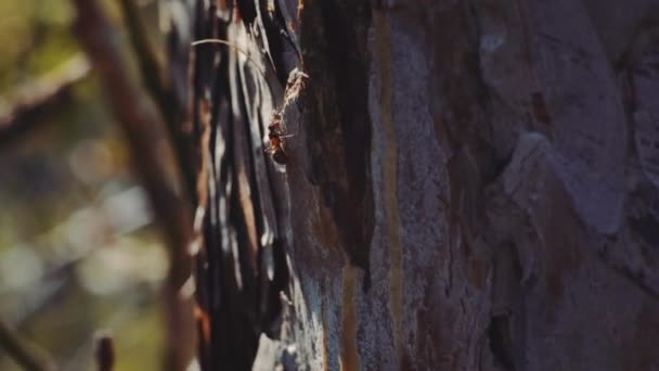 4k Macro view of Ants in forest as they forage working together. Sunset close-up shot