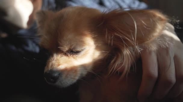 close-up female hand stroking adorable funny longhair chihuaha dog. Very cute pet. Beautiful sun shade