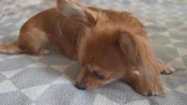 Portrét Rozkošný legrační dlouhosrstý čivava pes na kostkovaném