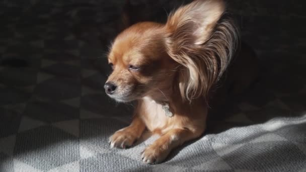Adorable funny longhair chihuaha dog sleeps on plaid. Very cute pet. Beautiful sun shade