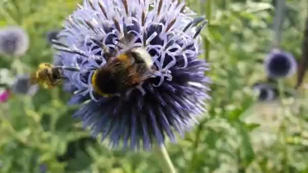 Echinops und Insekten -Video