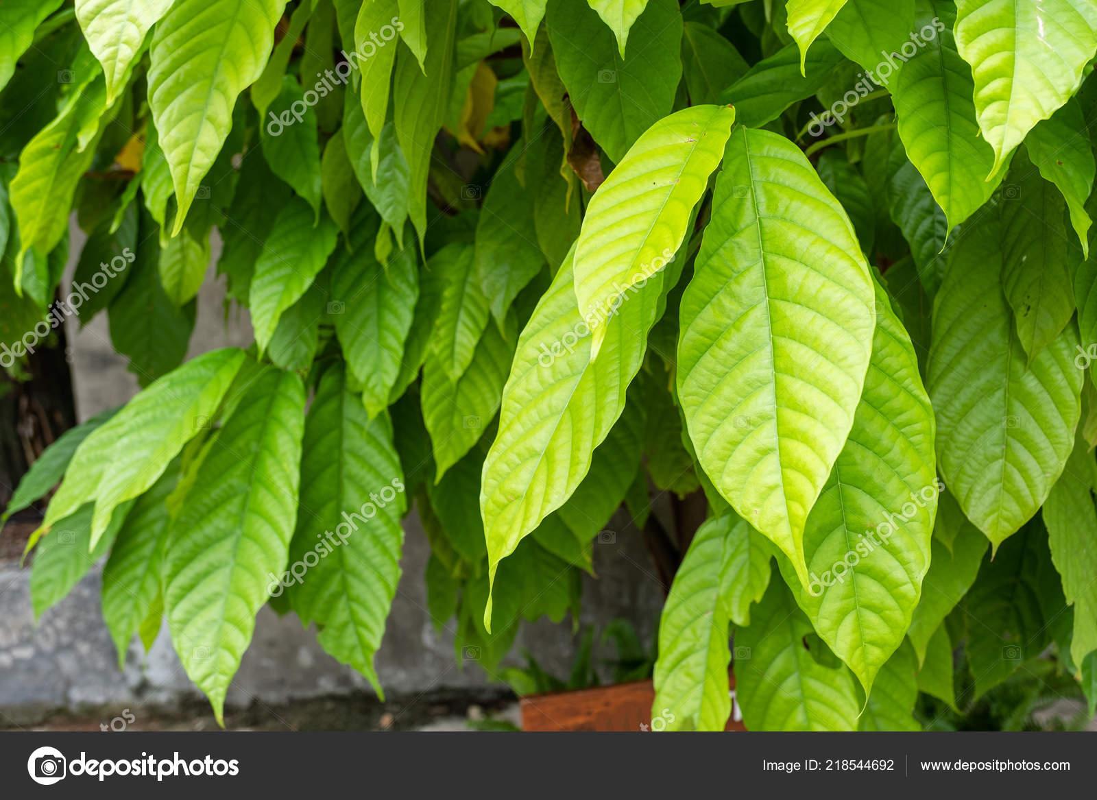 Foglie Verdi Della Pianta Cacao Foto Stock Mumemories 218544692
