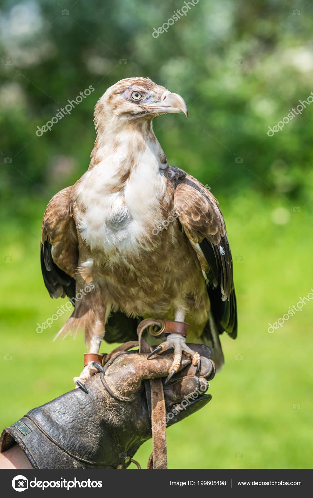 pássaro falcão falcão sentado mão falcoeiros durante show aves