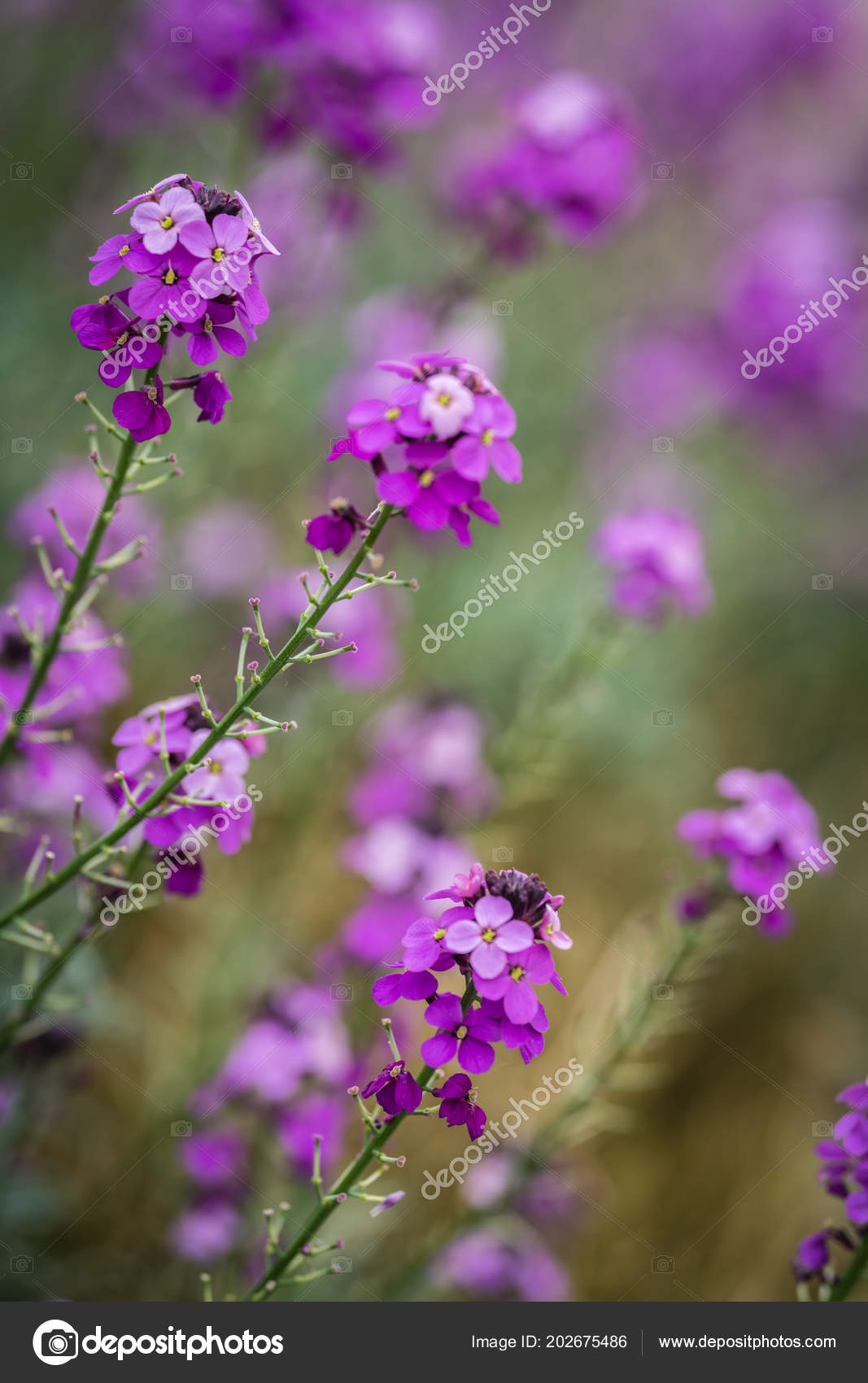 Pink Phlox Flowers Growing Meadow Cornwall Stock Photo