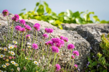 Cornish flower called Pink sea thrift growing on a rock outcrop, Lands End, Cornwall, UK