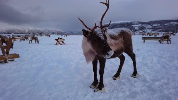 Csorda rénszarvasok keresnek az élelmiszer-hóban, Tromso régió, Észak-Norvégia