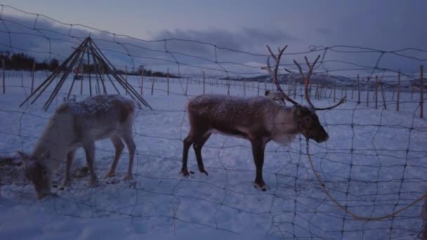 Rénszarvasok egy kerítés mögött egy rénszarvas lapp táborban a hegyvidéki téli táj, Tromso régió, Észak-Norvégia
