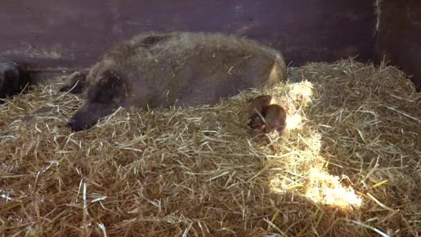 Mother pig and her newborn baby piglet on a hay on the farm