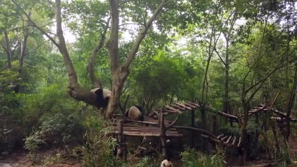 Large panda resting on a tree and two other Giant pandas seating below and eating bamboo leaves in national park in Chengdu, China