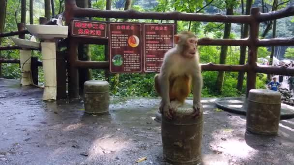 Zhangjiajie, China - August 2019 : Monkey eating piece of fresh fruit given by the tourists, Ten Mile Gallery Monkey Forest, Zhangjiajie National Park