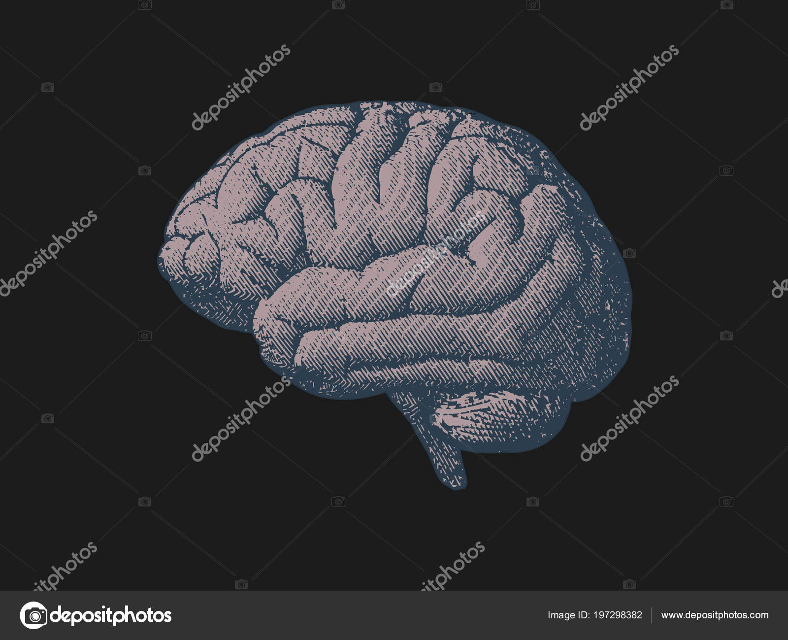 Side View Brain Engraving Drawing Gray Color Tone Black Background ...