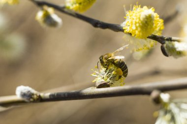 Bee pollinates a blooming tree. The bee collects pollen on the flowering tree. Bee on catkins. Yellow pollen on twigs and he bee.