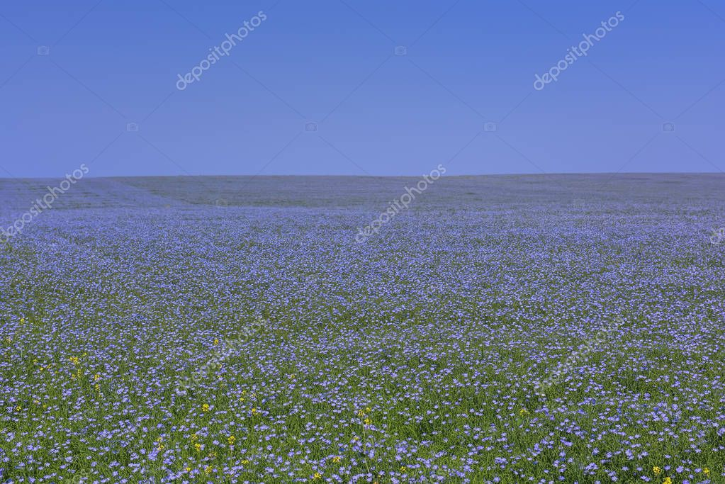 Boundless expanses of fields with blue flax flowers. Flowering of flax on a sunny day.