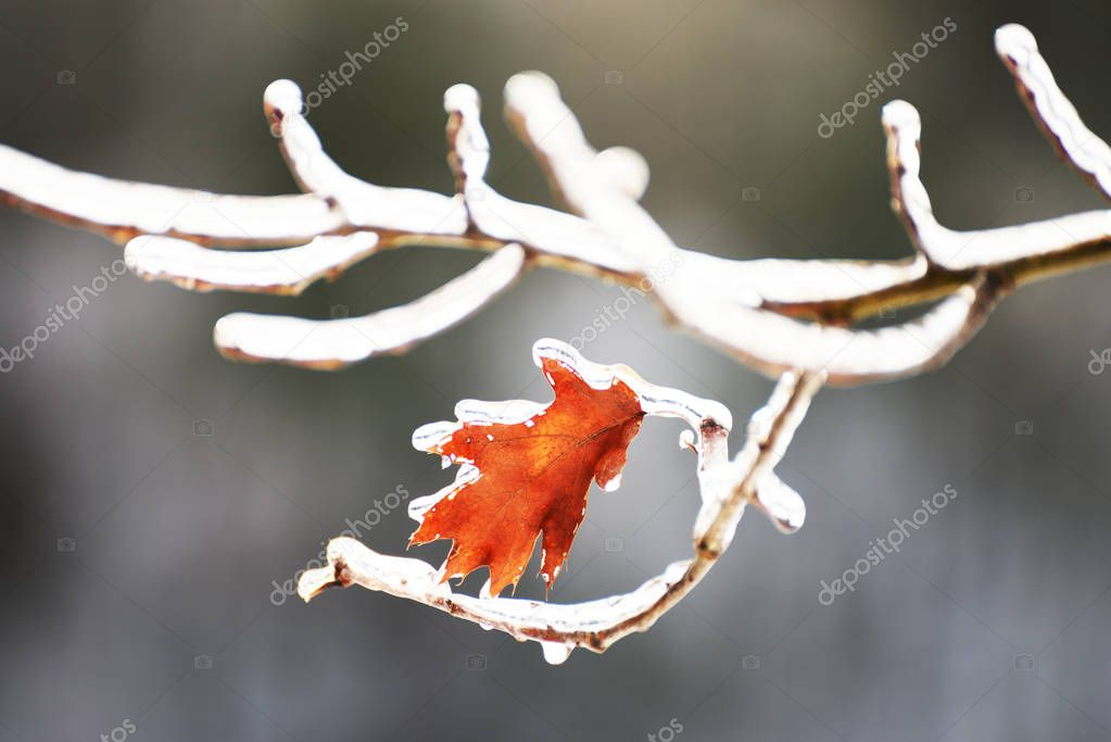 Auburn is the last leaf of an oak tree on a branch in the ice.