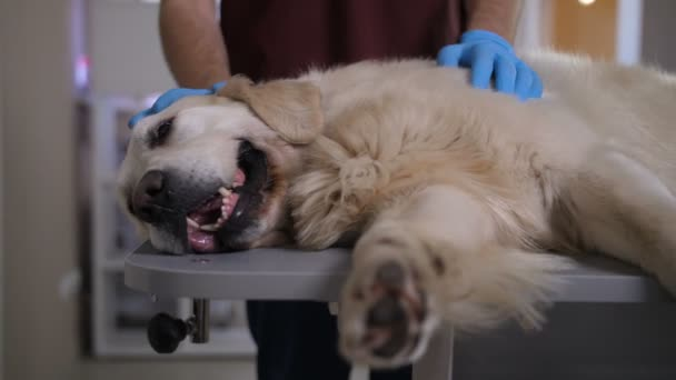Closeup of sick labrador dog lying on examination table at pet care clinic, breathing hard, while vet doctors hands in gloves stroking and caressing ill animal. Pet healthcare concept